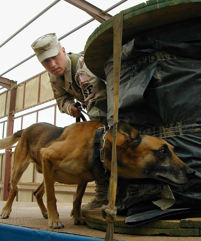 OPERATION IRAQI FREEDOM -- Senior Airman Donnie Wells, 363rd Expeditionary Security Forces Squadron, watches as Kastor, a Belgian Malinois military working dog, sniffs for any hazardous materials or explosives among cable rolls aboard a flatbed trailer coming on-base at a forward location.  Both Wells and Kastor deployed together from the 99th Security Forces Squadron, Nellis Air Force Base, Nev.  (U.S. Air Force photo by Master Sgt. Darrell Lewis)