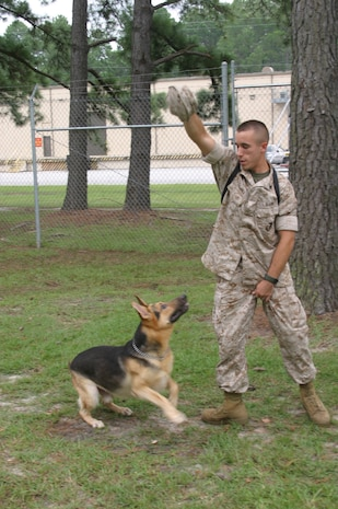 Benny, a six-year-old German Shepherd military working dog, jumps to snatch the cover out of Cpl. Steven Dojnia's hand. Earlier, Benny, who likes to steal covers, had snatched the cover out of Dojnia's hand when he wasn't paying attention to the dog. Benny and Dojnia deployed to Iraq Aug. 26.
