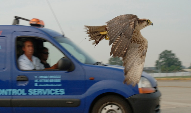 Goldie, a 9-year-old lanner hawk, launched from a moving van driven by Keith Mutton chases unwanted birds on RAF Mildenhall's flightline July 27.  Mr. Mutton owns and operates Phoenix Bird Control Services, a company helping the base run its bird aircraft strike hazard program. The aim is to rid the base of birds that pose bird strike problems for aircraft operating from there. The Moroccan lanner can launch from Mr. Mutton's arm at up to 40 miles per hour to chase away and ward off unwanted birds which are safety threats.  (U.S. Air Force photo by Master Sgt. Lance Cheung)
