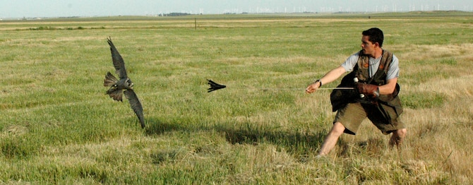 """Mr. Mike Bierman takes Sonjia out for a practice flight. During the long days of summer, the falconers must split the birds' flight times between the morning and early evening. The World Bird Sanctuary has 14 birds assigned to Travis. There are a variety of species, including desert birds and even local species.  The variety of birds allows the WBS to choose different birds for different seasons and climates. """"It allows us to give some of the different birds a rest,"""" said Mr. Bierman. Mr. Bierman has been a part of the Travis BASH program for more than six years.  He has been a falconer for more than 14. (U.S. Air Force photo by Staff Sgt. Raymond Hoy)"""