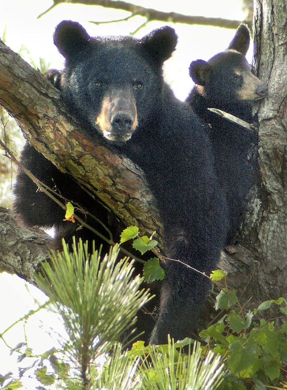 A black bear and her cub sit in a tree on the southwestern edge of Hurlburt Field near Solar Street Aug. 2. (Photograph by Devon Ravine)
