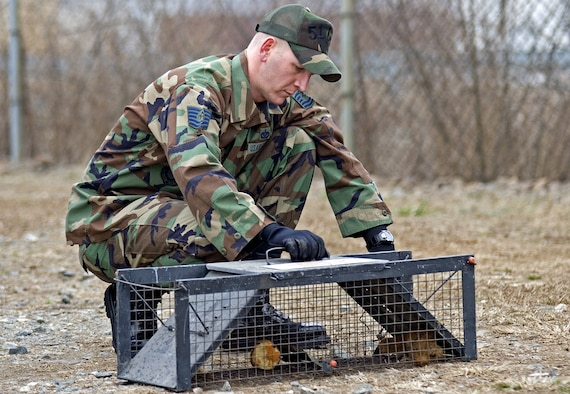 OSAN AIR BASE, Republic of Korea --  Tech. Sgt. Steven Coffman, 51st Civil Engineer Squadron pest management shop, prepares to release a wild ferret from a hav-a-hart live animal cage.  The three-member pest management shop handles all stray and feral animals found on base as well as various rodent and insect pests.  For pest management issues, contact the 51st CES service call desk at 784-6226. (Photo by Master Sgt. Ben Huseman)