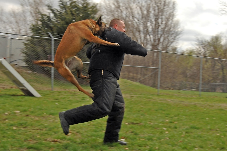 OFFUTT AIR FORCE BASE, Neb. -- Bellevue Officer Jim Bartley, gets pounced on by Leda, a Lavista Police Dog, during a routine joint training with Offutt handlers and military working dogs on April 10. (U.S. Air Force Photo by Josh Plueger)