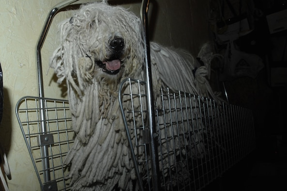 Chaos takes a brisk jog on a treadmill as he waits for bath time. Master Sgt. Adrienne Freyer, 28th Bomb Wing Plans and Evaluations superintendent, uses a specially designed treadmill to help keep her Champion Kyllburg, Chaos, in shape. Chaos, a 115-pond Komondor, is ranked as the top Komondor male in the United States. This show dog knows how to compete, winning best of breed and best bred Dec. 2, during the 2007 American Kennel Club/ Eukanuba National Invitational Dog Show in Long Beach, Calif. This show continued a trend started in October where he won best in breed and back-to-back group ones in Minnesota, Oct. 6 and 7; and back in Rapid City, S.D., won best in breed Oct. 19 through 21, Group 4 Oct. 20 and Group 3 Oct. 21. (U.S. Air Force photo/Senior Airman Angela Ruiz)