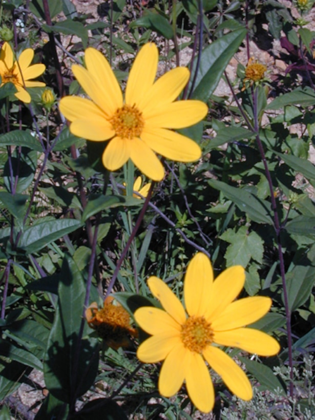 Managing the comeback and delisting of the Eggert's sunflower is one of the reasons why Arnold AFB won the 2006 Gen. Thomas D. White Environmental Award for Natural Resources Conservation.