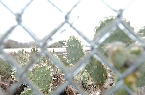 Cactus near the flightline at Randolph Air Force Base, Texas are crystallized with ice. The San Antonio area experienced a winter storm here Jan. 16, 17. (U.S. Air Force photo by Staff Sgt. Elizabeth DelVecchio)