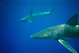 Marines and Sailors stationed on Oahu photograph Galapagos sharks just off the north shore of Oahu during a Single Marine & Sailor Program outing April 28.
