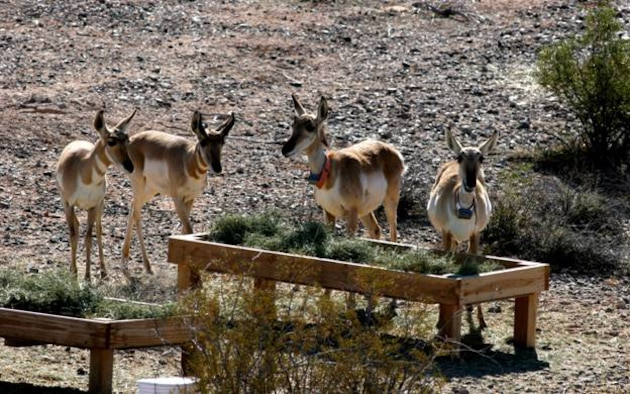 Several pronghorn in the southwest quarter within the Cabeza Prieta National Wildlife Refuge captive breeding enclosure; two adult females, both pregnant in this photo, and a male and female fawn from last year mingle around a forage plot. Photo courtesy Mike Coffeen, U.S. Fish & Wildlife Service