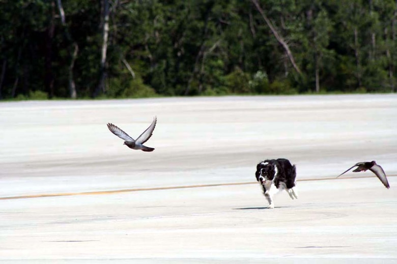"Rhett, Hurlburt Field's resident bird/wildlife aircraft strike hazard dog, chases pigeons off the runway before an aircraft takes off. Rhett works as a part of the 1st Special Operations Wing Groung Safety Office, helping to clear the runways, fields and hangars on base of potential wildlife hazards. With his constant patrolling, the birds, bears, alligators and other wild animals now view him as a predator and usually stay in the wilds surrounding the base. But sometimes, he has to remind them who ""owns"" the tarmac. (U.S. Air Force photo Tech. Sgt. Kristina Newton)"