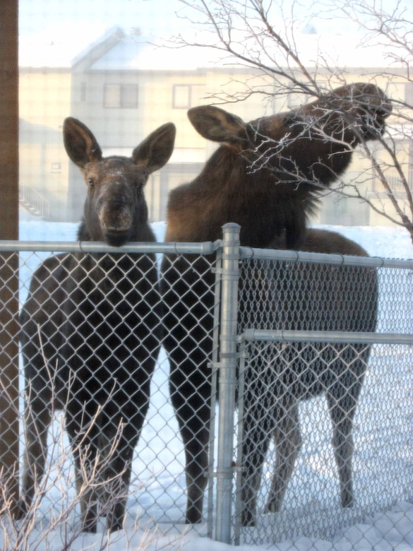 A baby moose and its mother peer into a window at the child development center Feb. 27. As the weather begins to warm up, parents are reminded to talk to their children about moose safety. (Photo by Jennifer Weaver)