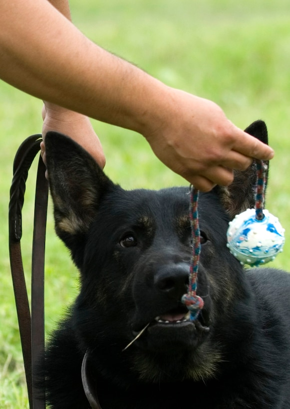 A military working dog gets enticed with a ball on the end of a rope. Through play, dog handlers teach the canines how to bite on command. The 341st Training Squadron at Lackland Air Force Base, Texas, trains more than 1,300 dogs DOD-wide. (U.S. Air Force photo/Tech. Sgt. Matt Hannen)