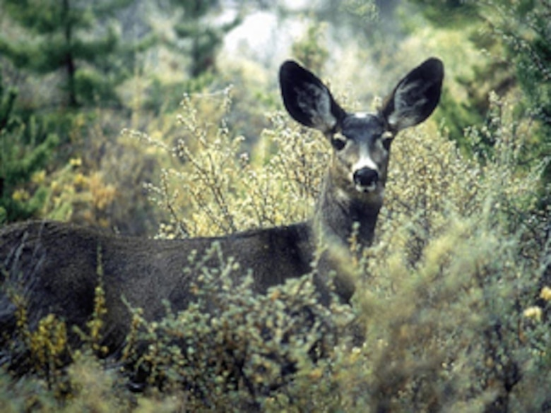 VANDENBERG AIR FORCE BASE, Calif.-- While driving on base it is important to be careful of possible obstructions in the road. Deer and other wildlife are very prominent on Vandenberg, and cross roadways frequently. (photo courtesy cherrypoint marine base)
