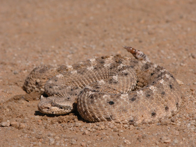 The poisonous sidewinder rattlesnake is one of the many reptiles common to the Mojave Desert area. Other snakes seen here are the Mojave green rattlesnake, the California king snake and the gopher snake. (Photo by Mark Bratton)