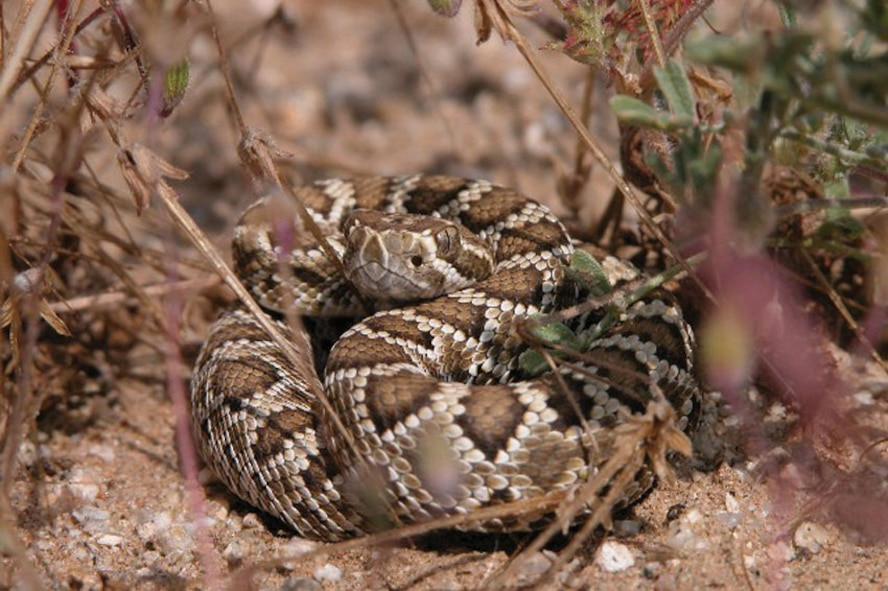 The poisonous Mojave green rattlesnake is one of the many reptiles common to the Mojave Desert area. Other snakes seen here are the sidewinder rattlesnake, the California king snake and the gopher snake. (Photo by Mark Bratton)