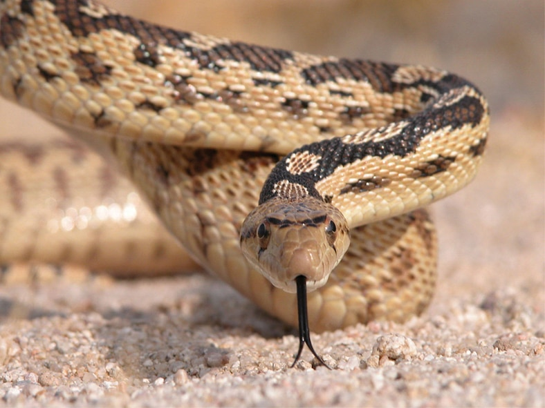 The gopher snake is one of the many reptiles common to the Mojave Desert area. Other snakes seen here are the Mojave green rattlesnake, the sidewinder rattlesnake and the California king snake. (Photo by Mark Bratton)