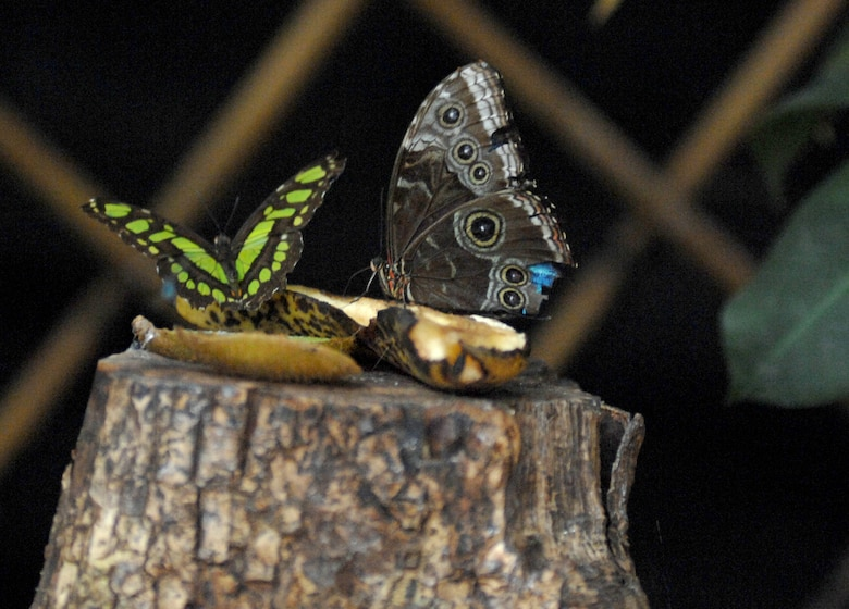 AVIANO AIR BASE, Italy --  Two butterflies gather around a banana for a snack at the Butterfly House in Bordano.  (U.S. Air Force photo/Airman 1st Class Tabitha M. Mans)