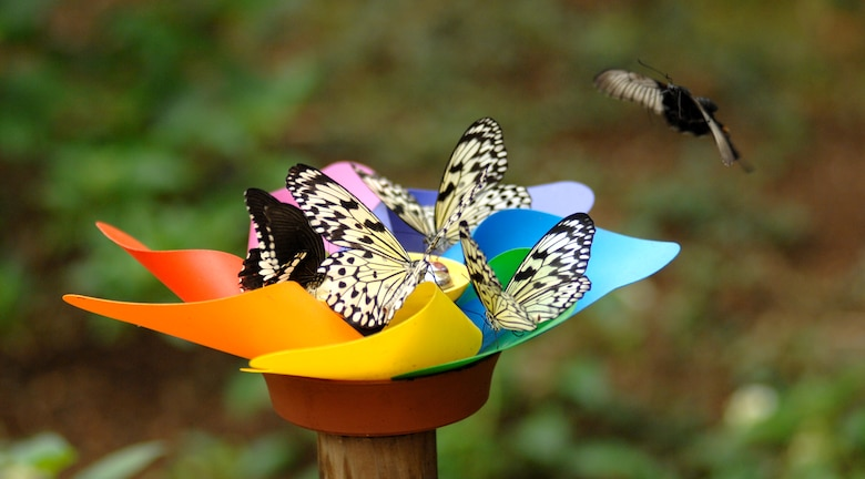 AVIANO AIR BASE, Italy -- Rice Paper and Orchard Swallowtail butterflies gather around a water dish in the Eastern and Australian region house at the Bordano Butterfly House, April 11.  The Butterfly House is open every day, including weekends and public holidays, from 9:30 am to 12:00 pm and from 2:00 pm to 5:30 pm, during April though September.  (U.S. Air Force photo/Airman 1st Class Tabitha M. Mans)