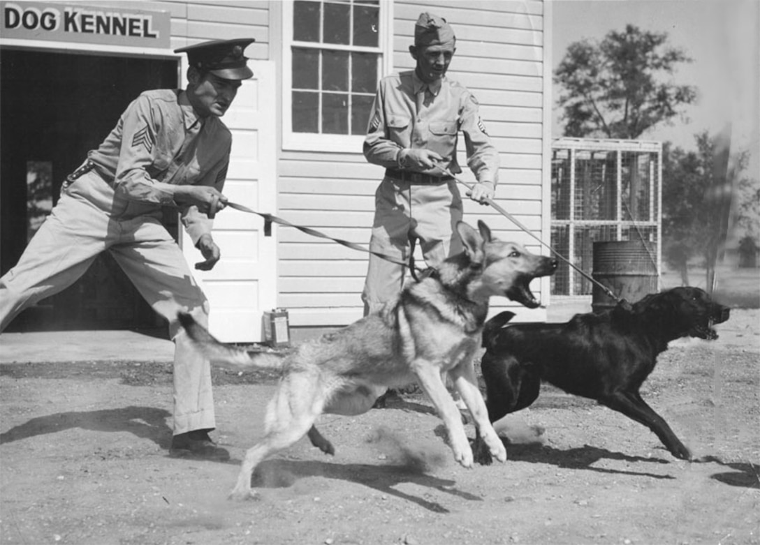 Two sentry dogs being trained for guard duty rush to attack soldier advancing upon guards. Craig Field, 1943.