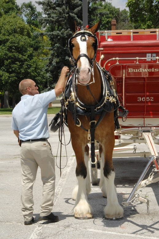 Pete Peterson, Budweiser Clydesdales Team supervisor, hitches one of the horses to a wagon. After all of the horses were hitched, they trotted past General's Row and the parade grounds here. (U. S. Air Force Photo By/Dana P. Heard)
