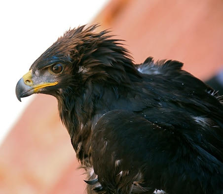 Cliff, the rescued Golden Eagle, perches, peering into the vast canyons of Lake Powell.