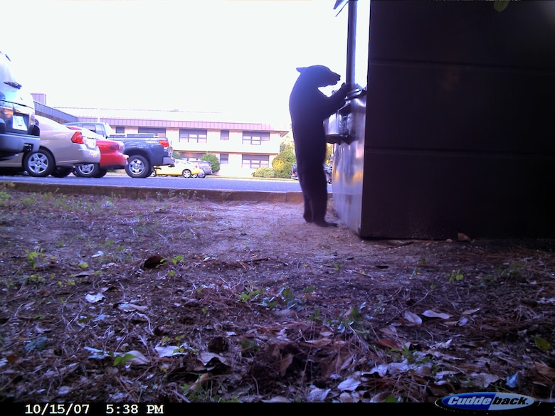 This bear cub was spotted eating out of the dumpster by one of the dorms on base last year. (Courtesy photo)