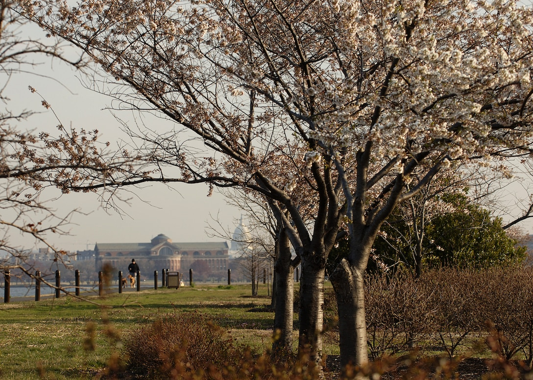Cherry blossoms begin to bloom along the Bolling waterfront. (U.S. Air Force photo by Thomas Dennis.)