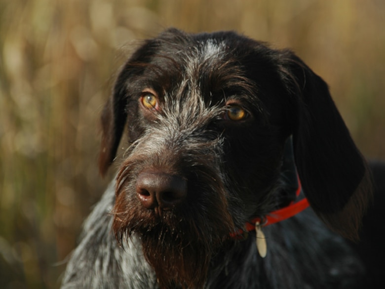 German Wirehaired Pointer, Amber, sniffs the prairie grass for pheasant scent during the Hunting Dakota with Roosevelt event
