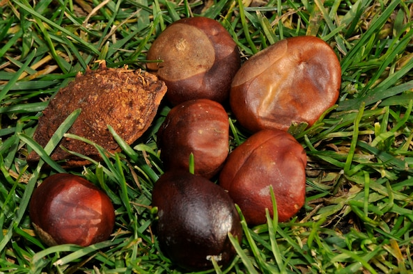 Conkers are hard brown nuts found in a prickly case that fall from the horse chestnut tree when ripe. A playground favourite in the U.K. for as long as there have been playgrounds and horse chestnut trees, conkers were introduced into Britain in the 1600s. The first recorded game of conkers dates back to 1848 on the Isle of Wight.  The origin of the name 'conker' is unclear but it's believed that it comes from the French word 'cogner' meaning to hit. ( Photo by A1C Perry Aston)