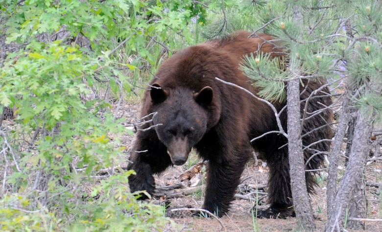 Bears like the one pictured here frequent the Air Force Academy's wilderness areas. The Academy Natural Resources office advises hikers to use caution when they spot bears: don't move quickly or make loud noises and give the bear space. (U.S. Air Force photo/Mike Kaplan)