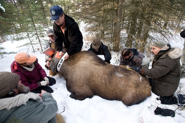Good moose hunting base state officials track wildlife for Fish and game office near me
