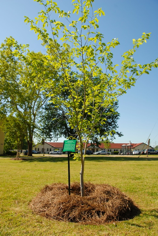 """The Maxwell """"survivor"""" tree was dedicated April 24 by 42nd Air Base Wing Commander Kris D. Beasley as part of Earth Day celebration. Planted in the fall at the corner of East Maxwell Boulevard and Magnolia Boulevard, the tree grew from a seed from a tree that survived the 1995 bombing of the Alfred P. Murrah Federal Office Building in Oklahoma City, Okla. (U.S. Air Force photo by Jamie Pitcher)"""
