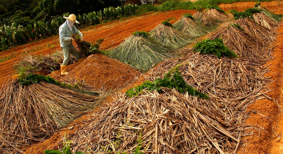 A tacit farmer piles dead leaves on mounds storing planted yams to keep them moist until harvest time. Nearly 90 acres of land located in the munitions storage area is used by the tacit farmers to grow crops surrounded by hills and a capturing view of a well-preserved past.   (U.S. Air Force photo/Tech. Sgt. Rey Ramon)