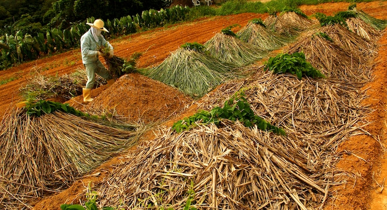 A tacit farmer piles dead leaves on mounds storing planted yams to keep them moist until harvest time at Kadena Air Base, Japan. Nearly 90 acres of land located in the munitions storage area is used by the tacit farmers to grow crops surrounded by hills and a capturing view of a well-preserved past. (U.S. Air Force photo/Tech. Sgt. Rey Ramon)