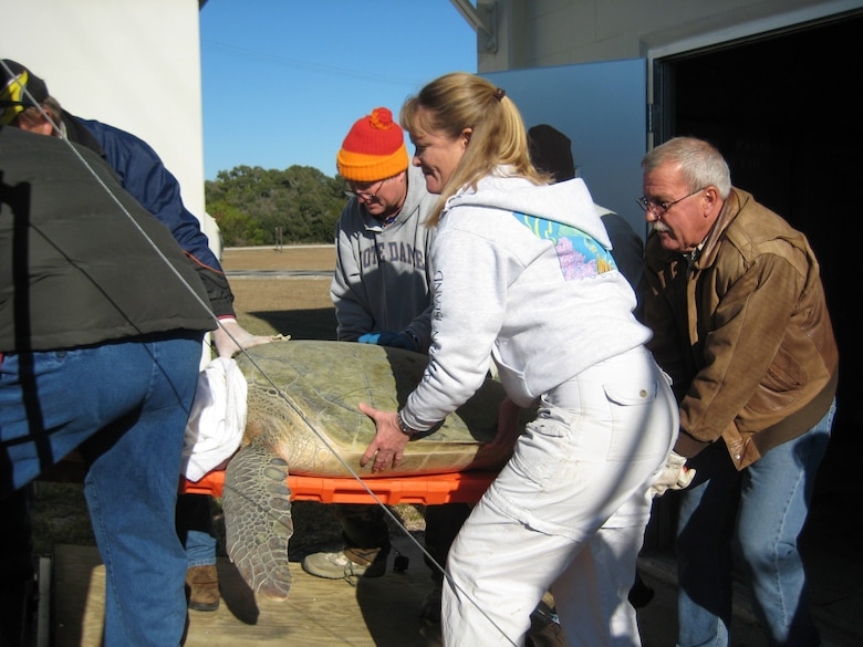 45th Civil Engineer Squadron Biologists Angy Chambers and Don George help carry a cold-stunned adult green sea turtle into a transport vehicle during rescue operations on Cape Canaveral Air Force Station in January. Approximately 2,000 turtles were saved. (U.S. Air Force photo courtesy of Martha Caroll)