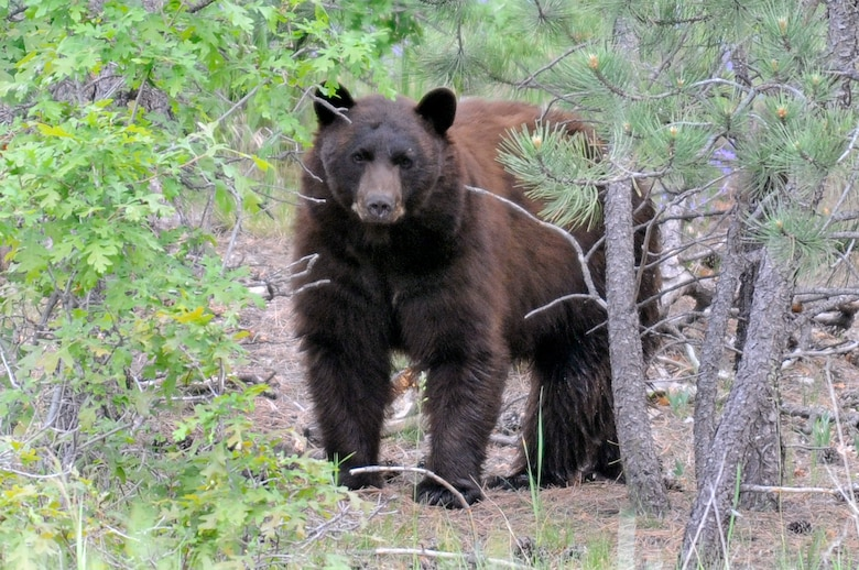 Black bears, such as the one pictured here, are mostly vegetarians, eating grasses and berries. Bear sightings have increased at the Academy in August 2010 as the bears eat massive amounts of food to prepare for winter. (U.S. Air Force photo/Mike Kaplan)