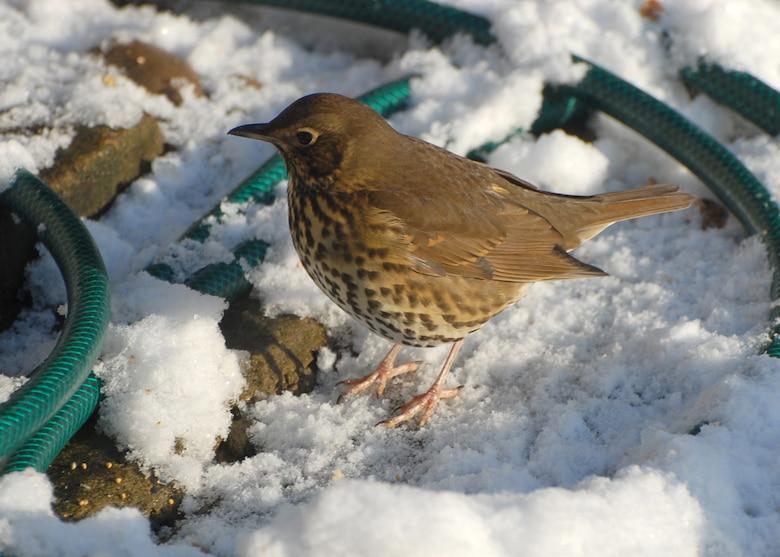 Song thrush in snow. (U.S. Air Force photo/Judith Wakelam