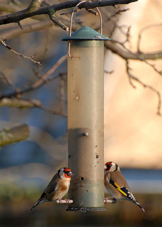 Gold finches feed on nyjer seed. (U.S. Air Force photo/Judith Wakelam