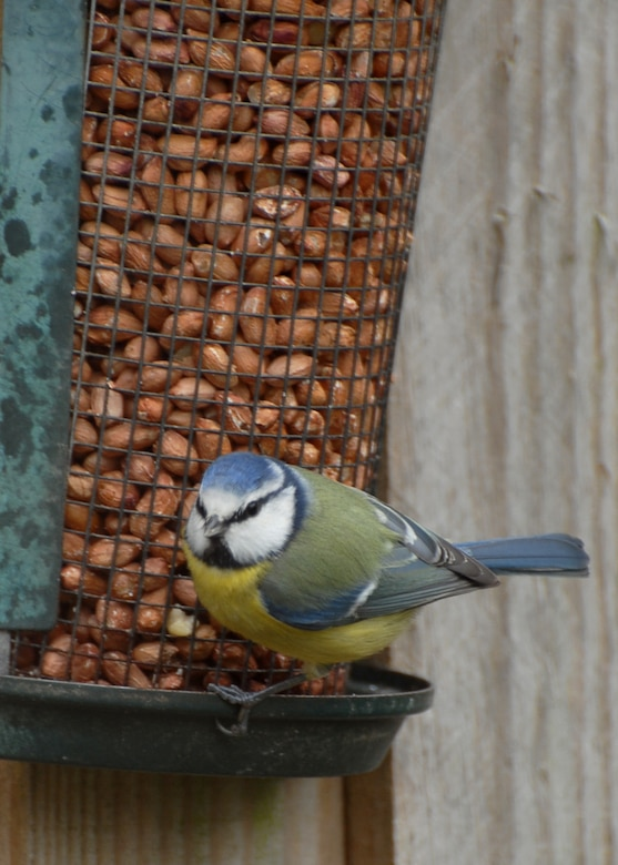 a Bluetit sits on a feeder filled with peanuts. (U.S. Air Force photo/Judith Wakelam
