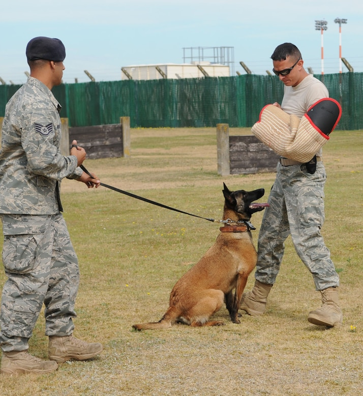 "RAF MILDENHALL, England -- Military Working Dog Vvonya stands guard at the feet of ""bad guy"" Staff Sgt. Philip Bradt, 100th Security Forces Squadron MWD handler, as handler Staff Sgt. Raymond McMahon keeps a tight hold of her leash. In this stage of training, the bad guy gets aggressive by shouting at the handler and coming towards the handler and the dog, thus posing a threat. If the aggressor continues when asked to stop, the dog is let loose and allowed to chase him, until he surrenders. The dog is then called off by the handler, but will sit as close as possible to the bad guy, showing that it is ready to attack if necessary. The MWD stays in that position as the handler performs a quick physical search, to ensure the person is not carrying any weapons or other items that could cause harm. (U.S. Air Force photo/Karen Abeyasekere)"