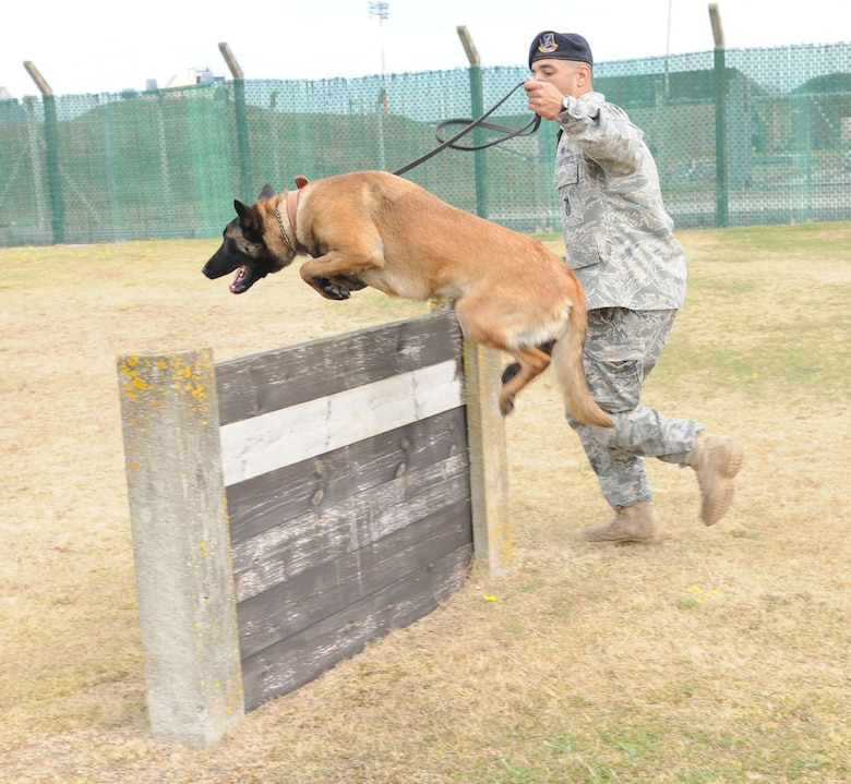 RAF MILDENHALL, England -- Staff Sgt. Raymond McMahon, 100th Security Forces Squadron Military Working Dog handler, runs with MWD Vvonya, RAF Mildenhall's first female Puppy Program dog, as she performs some agility training July 9. (U.S. Air Force photo/Karen Abeyasekere)