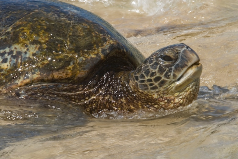"""A Hawaiian Green Sea Turtle named Kekoa, Hawaiian name meaning """"Brave One"""" makes his first journey to the Laniakea Beach on Oahu's North Shore. The turtle beached while Airmen from the 146th AW Civil Engineering Squadron participated in a beach clean-up project June 11, 2010. (DoD photo by Airman 1st Class Nicholas Carzis, U.S. Air Force/Released)"""