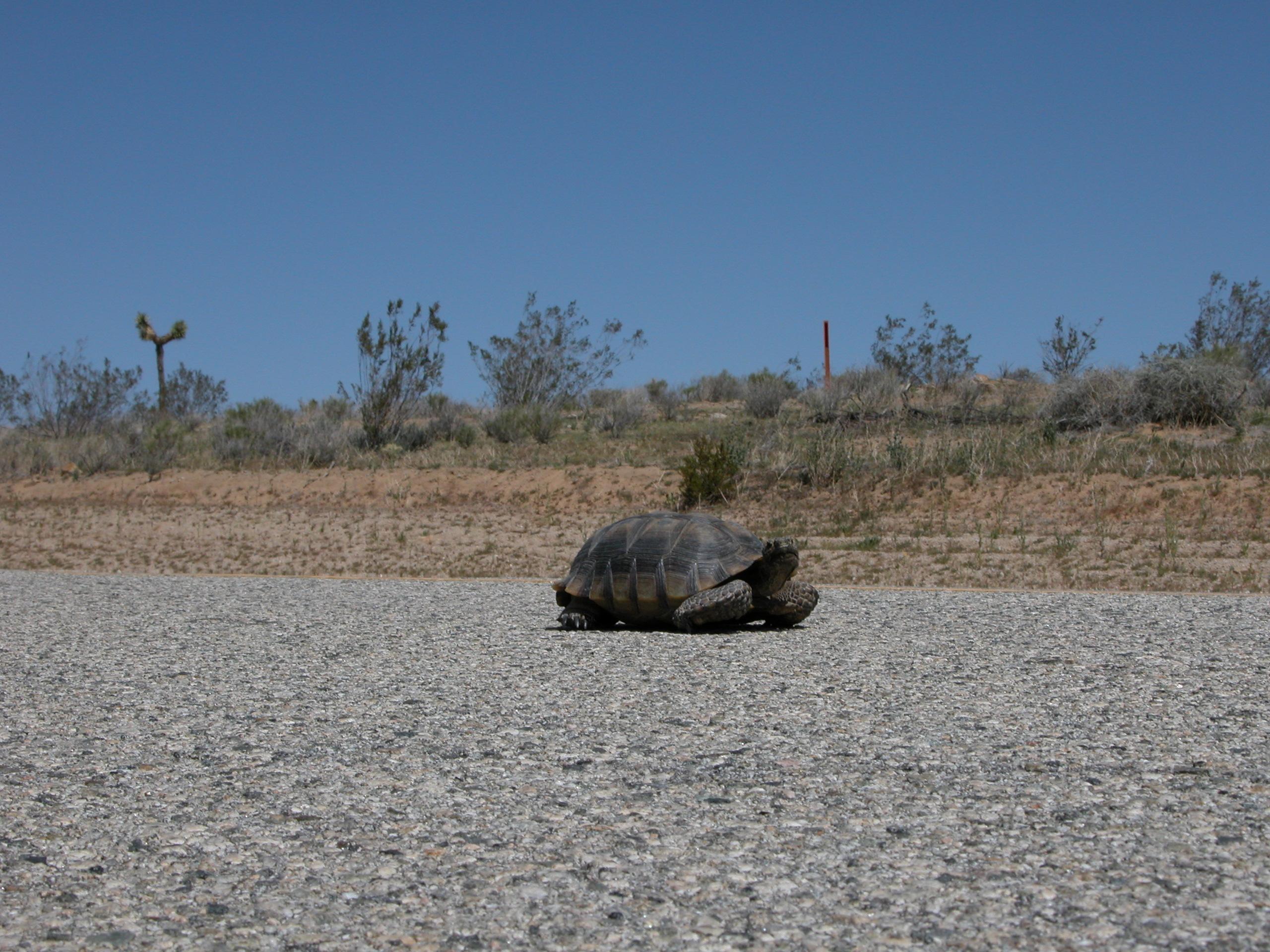 New guidance - stop and help desert tortoises cross road if