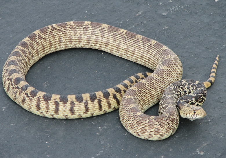 BUCKLEY AIR FORCE BASE, Colo. -- A bullsnake, or gopher snake, a non-venomous species which shares the habitats and habits of the Prairie Rattlesnake, one of two rattlesnake species native to Colorado. This particular snake was found under a car on Buckley Air Force Base. (U.S. Air Force photo)