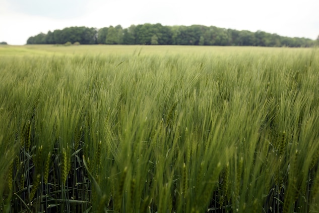 On June 6, 1918, Marines from the 5th Regiment had to cross wheat fields such as this while facing intense machine gun fire from German troops who were deeply entrenched in forests that make up Belleau Wood. On that first day of combat, more Marines were killed or injured than in all of the Corps' previous 143 years of existence. After several attempts, 5th Marines was able to drive the Germans from their machine gun nests, using bayonets and close combat, and establish a foothold in the wood that would allow the Marines to eventually win the battle. The Marines of both the 5th and 6th Marine Regiments returned to Belleau Wood after 93 years to commemorate the battle their units fought in nearly a century ago. During their trip, they conducted a walkthrough study of the attack and walked in the footsteps of their predecessors.