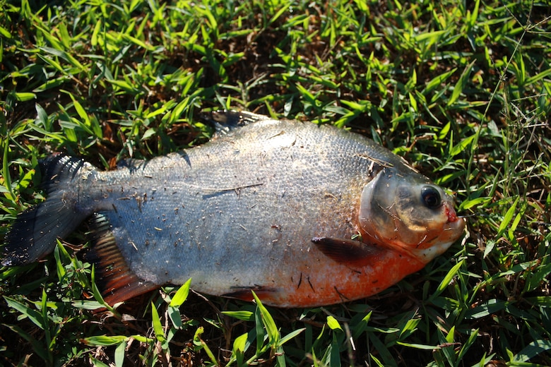 Something's fishy: Pacu caught at base lake > Little Rock