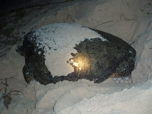 A female green sea turtle fills her nest with eggs under the cover of darkness at the Tarague Basin here. A pristine hatching environment, the Tarague Basin has a 97 percent hatching success rate and an emerge success rate of 93 percent, the highest of any location on Guam. (U.S. Air Force Courtesy Photo)