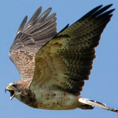 The Swainson Hawk is just one of several types of birds that fly daily over the skies of Buckley Air Force Base. The 460th Space Wing and the 140th Wing are aggressively working to reduce the chances of an aircraft-bird strike at Buckley Air Force Base through its Bird Aircraft Strike Hazards (BASH) program.