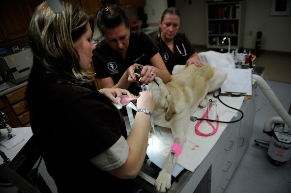 MOUNTAIN HOME AIR FORCE BASE, Idaho -- Kacie Lippincott and Jennifer Sotak, veterinary technicians, and Dr. Nancy Sutton, prepare Pluto, Labrador, for a routine dental cleaning Feb. 9. The veterinary clinic on base is scheduled to provide discounted dental treatments throughout February in recognition of National Pet Dental Month. (U.S. Air Force photo by Airman 1st Class Renishia Richardson)