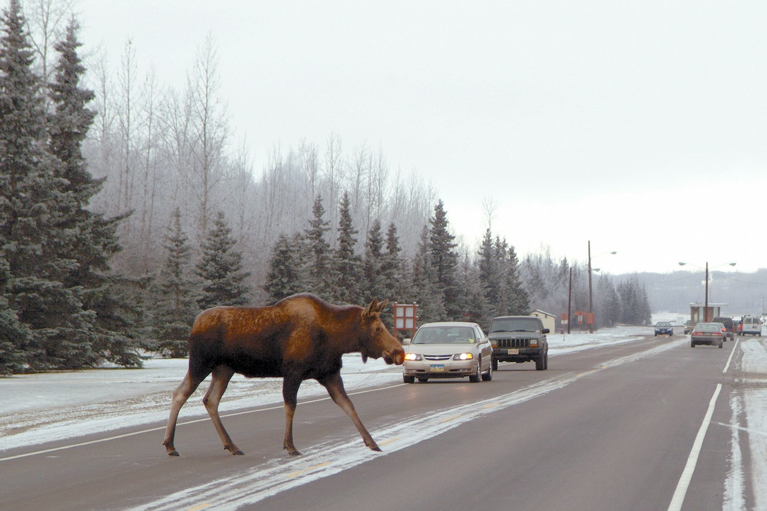 A moose crosses the Davis Highway on Joint Base Elmendorf-Richardson. Moose kill more people each year than bears or wolves. (U.S. Air Force photo\John Pennell)