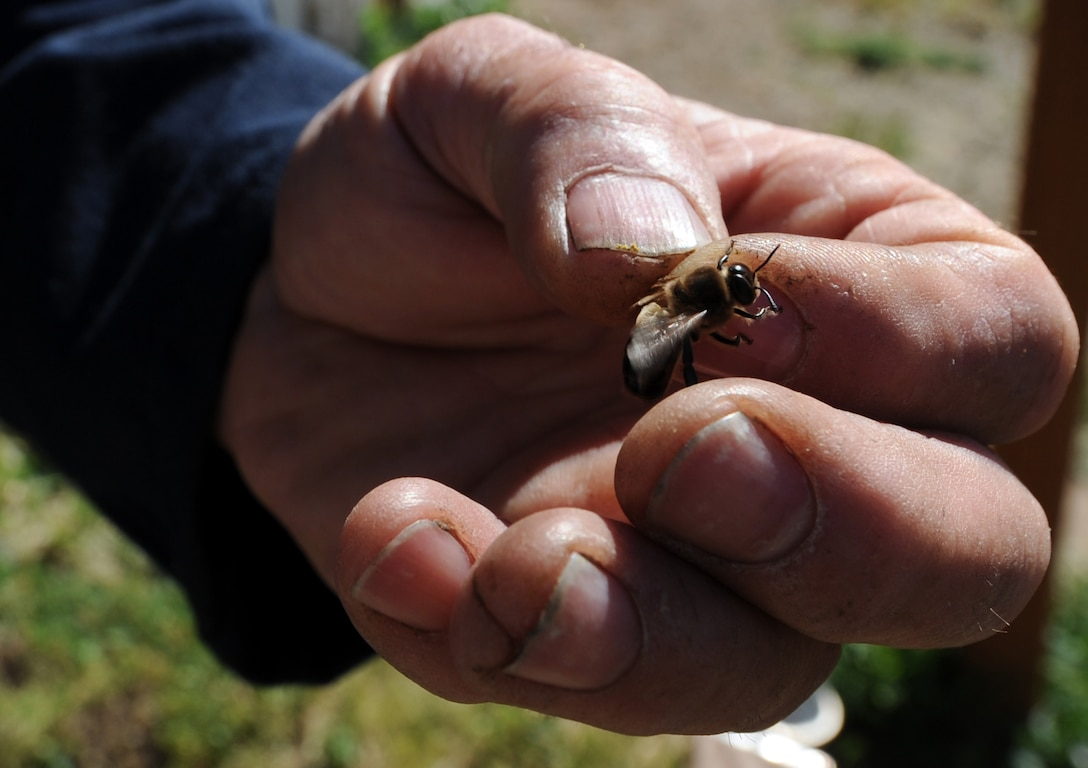 MOUNTAIN HOME, Idaho – Retired Master Sgt. Don Wood, an amateur bee keeper, holds a drone and describes the differences between a regular honey bee, a queen and a drone outside of his residence here June 23. Drones are male honey bees whose main purpose is to fertilize eggs. Drones do not sting, and have no other responsibilities to the hive. (U.S. Air Force photo by Senior Airman Debbie Lockhart)